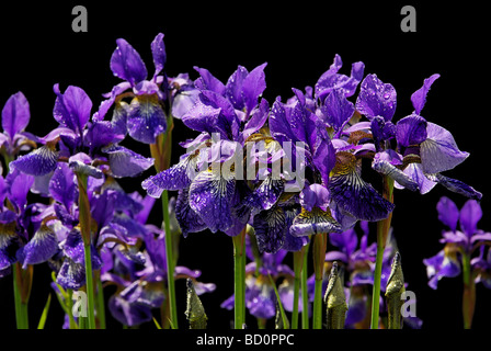 Schwertlilie iris 29 - Stock Photo