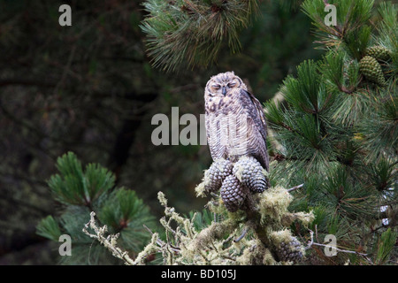 Young female Great Horned Owl sleeping on a branch, Estero Trail, Point Reyes National Seashore, California, USA - Stock Photo