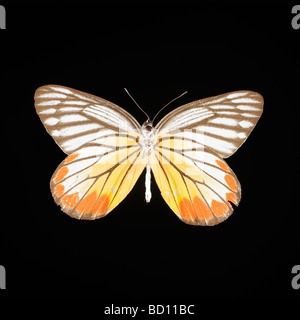plain eucharis butterfly on black background - Stock Photo