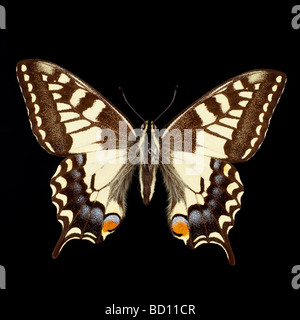 machaon, swallowtail butterfly black background - Stock Photo