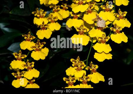 Dancing Ladies Orchids, Oncidium, Gower Ramsey, Orchidaceae - Stock Photo