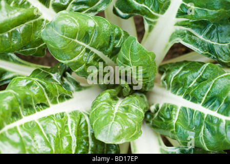Swiss chard growing in vegetable garden, viewed from above, close-up - Stock Photo