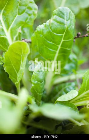 Swiss chard growing in vegetable garden - Stock Photo