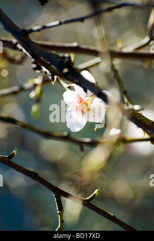 Almond tree in flower, close-up of branches - Stock Photo