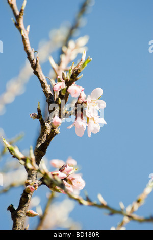 Almond tree in flower, close-up of branch - Stock Photo