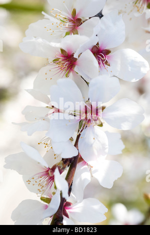 Almond tree in flower, close-up of flowering branch - Stock Photo