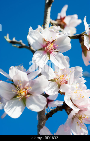 Almond tree in flower, close-up of flowers - Stock Photo