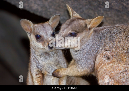 Allied Rock-wallaby Petrogale assimilis wallaby - Stock Photo