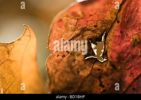 Dried leaf with hole in it, extreme close-up - Stock Photo