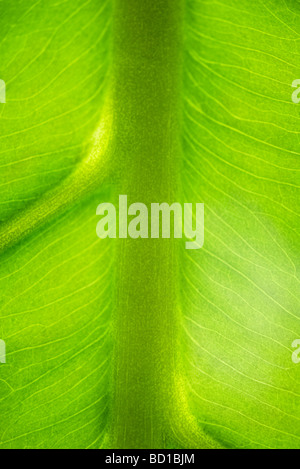 Green leaf and veins, extreme close-up - Stock Photo
