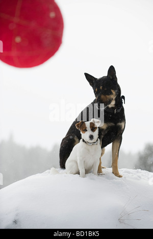 Two dogs sitting together on snowy mound, Christmas ornament in foreground - Stock Photo