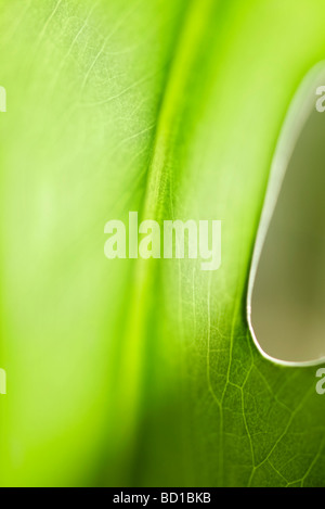 Green leaf with hole in it, extreme close-up - Stock Photo