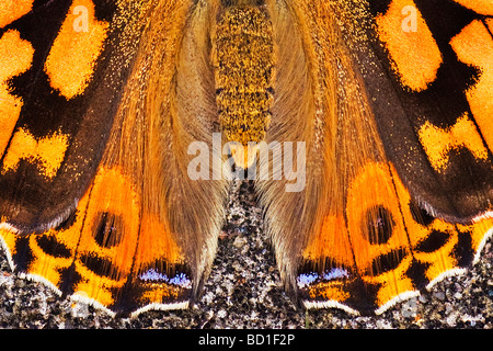 Painted Lady butterfly Vanessa cardui - Stock Photo
