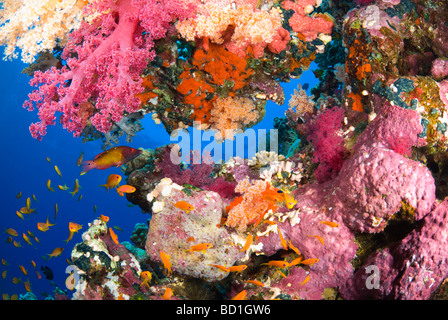 Colorful coral reef scene with purple soft corals and various tropical fish. Safaga, Red Sea - Stock Photo