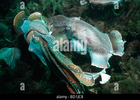 Giant cuttlefish Sepia apama two males in display combat over egg laying female bottom left Spencer Gulf Whyalla - Stock Photo