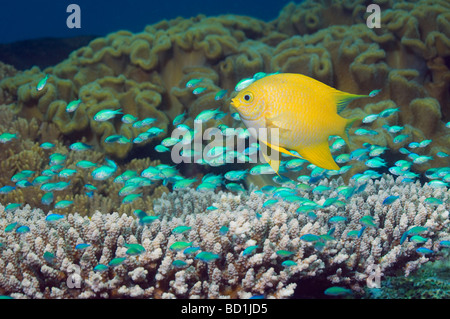Golden damsel Amblyglyphidodon aureus and Blue green chromis Chromis viridis over branching table coral - Stock Photo