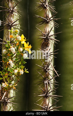 Creosote flowers and seeds grow next to a saguaro cactus - Stock Photo