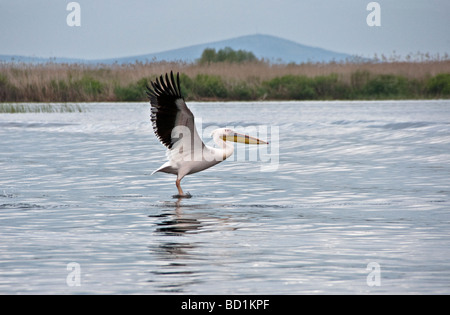 Great White Pelican taking flight in Romania's Danube Delta - Stock Photo
