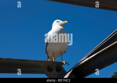 An adult yellow legged herring gull sat on the pillar of CableCar. Gibraltar. Europe - Stock Photo