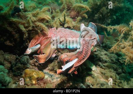 Giant cuttlefish Sepia apama Spencer Gulf Whyalla SA Australia - Stock Photo