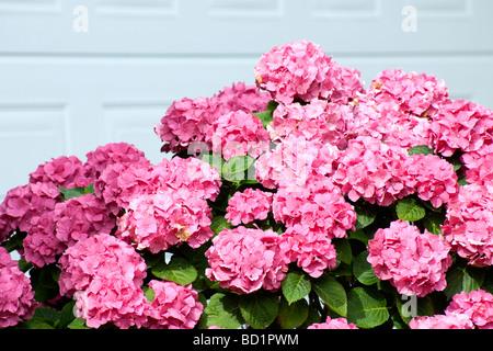 Pink Hydrangea in garden of suburban house - Stock Photo