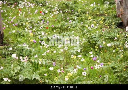 Israel A field of Purple pink and white Anemone coronaria AKA Spanish marigold or Kalanit in Hebrew - Stock Photo