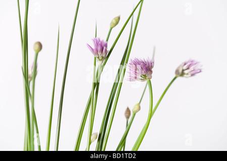 Blooming chives allium schoenoprasum - Stock Photo