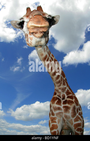 Giraffe looking down at photographer - Stock Photo