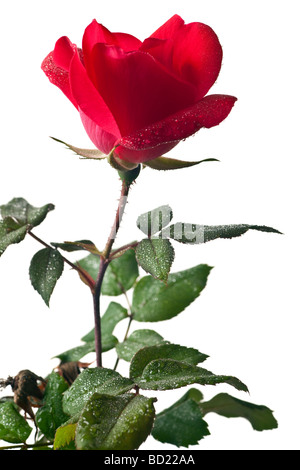 Garden rose isolated on a white background - Stock Photo
