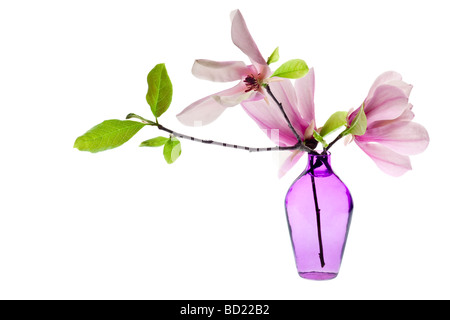 Magnolia Jane Blossoms in a purple vase with pink and white flowers - Stock Photo