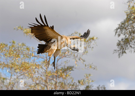 White backed vulture in flight, descending to feed on dead antilope left by lions in Kruger National Park, South - Stock Photo