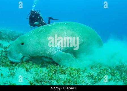 dugong - abu dabbab, marsa alam, egypt - Stock Photo