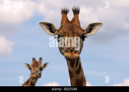 Portrait of two Rothschild Giraffes with their heads against a blue sky with some clouds - Stock Photo