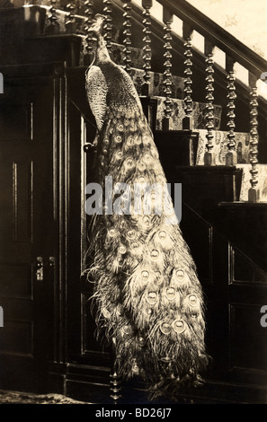 Tame Peacock on Stand in House - Stock Photo