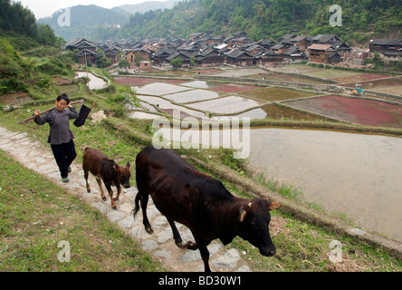 Woman and cows returning home with rice terraces and Zhaoxing Dong Village in background Guizhou Province China - Stock Photo