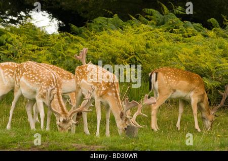 Buck Fallow Deer Grazing - Stock Photo