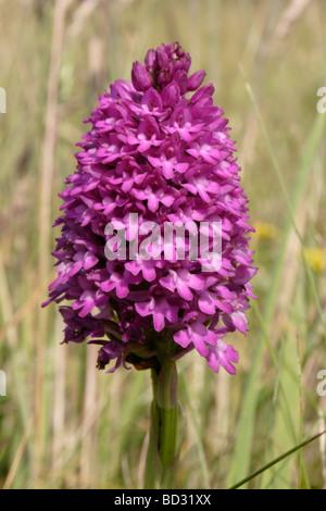 Pyramidal orchid Anacamptis pyramidalis Orchidaceae UK - Stock Photo