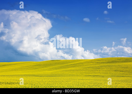 Canola Field and Towering Cumulus Clouds on the Canadian Prairies, Pembina Valley, Manitoba, Canada. - Stock Photo