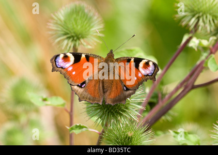 Peacock butterfly (inachis io) settled with wings open on a burdock plant - Stock Photo