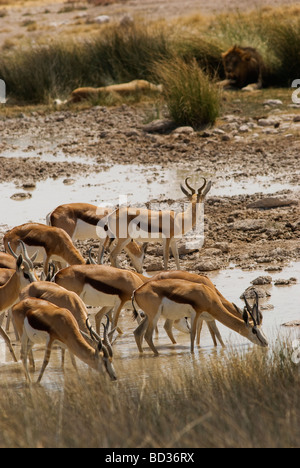 Springboks drinking at Salvadora waterhole, with lions in the background, Etosha National Park, Namibia .