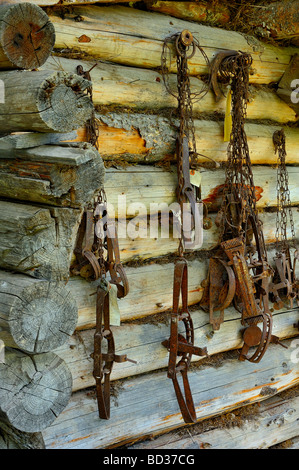 A log cabin wall with rusted leghold animal traps - Stock Photo
