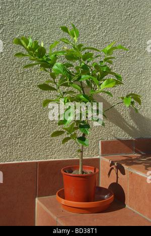 Zitronenbaum lemon tree 01