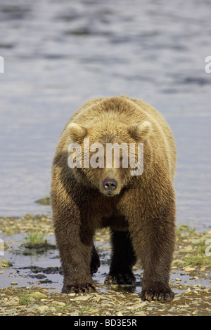 Grizzly Bear (Ursus arctos horribilis) in front of tidal creek - Stock Photo