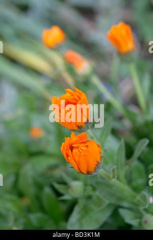 marigold Tagetes