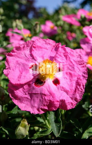 Cistus c.purpureus, Orchid rockrose, Cistaceae - Stock Photo