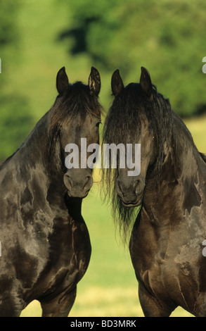 Friesian Horse (Equus ferus caballus), two mares looking into the camera - Stock Photo