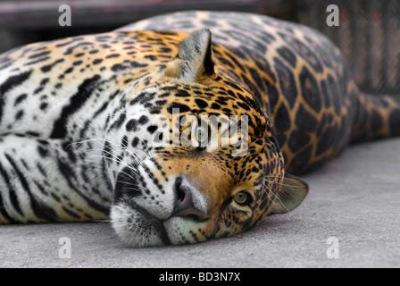 Lolling leopard - Stock Photo