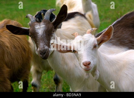 Goats - Stock Photo