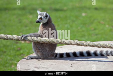Ring Tailed Lemur (lemur catta) sitting with hand on rope - Stock Photo