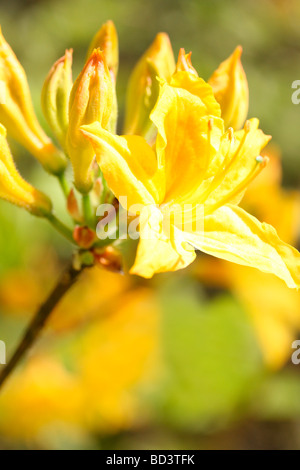 gorgeous colour flower soft ethereal and elegant azaleas fine art photography Jane Ann Butler Photography JABP501 - Stock Photo